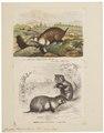 Cricetus frumentarius - 1700-1880 - Print - Iconographia Zoologica - Special Collections University of Amsterdam - UBA01 IZ20500031.tif