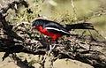 Crimson-breasted Shrike, Laniarius atrococcineus at Polokwane Nature Reserve, Polokwane, Limpopo, South Africa (14482277750).jpg