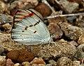 Crimson Tip (Colotis danae) W IMG 0601.jpg