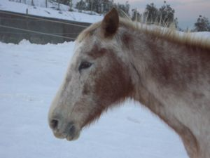 Criollo horse - Criollo horse with winter coat (Strawberry roan) in a Rescue Center in Toscana (Italy)