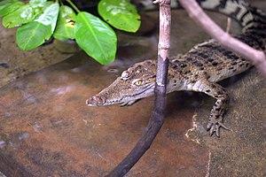 Philippine crocodile - A juvenile