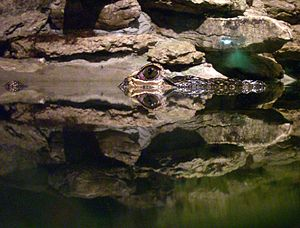 Reptilia (zoo) - Participants learn how alligators and crocodiles hide themselves in the water. Here we see the small above-water portion of the reptile well camouflaged, though also reflected in the water.