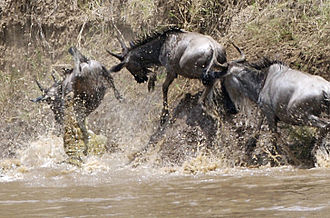 Crocodile - Nile crocodile attacking wildebeest