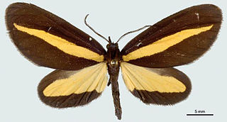 <i>Crocomela</i> Genus of moths