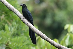 Crotophaga major (Greater Ani).jpg
