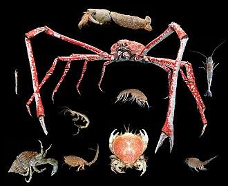 Malacostraca - Image: Crustacea