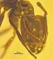 Ctenobethylus goepperti NHMW1984-31-218 head.jpg