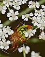 Cucumber Green Spider (Araniella cucurbitina) (35691921446).jpg