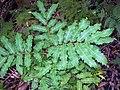 Cupaniopsis newmanii leaves.jpg