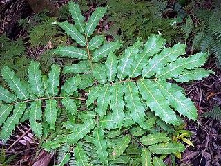 <i>Cupaniopsis newmanii</i> Species of tree