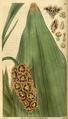 Curtis's Botanical Magazine, Plate 3054 (Volume 58, 1831).png