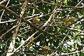 Cyanocorax yncas (Carriquí de montaña) (14460661330).jpg