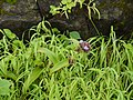 Cyanotis tuberosa (Roxb.) Schult. & Schult.f. (5994708955).jpg
