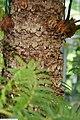 Cycas circinalis 19zz.jpg