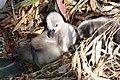 Cygnus olor (Küken) - Arboretum 2011-05-28 18-15-20.jpg