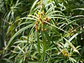 Cyperus alternifolius Cibora zmienna 2018-04-15 04.jpg