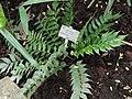 Cyrtomium falcatum - Copenhagen Botanical Garden - DSC07375.JPG