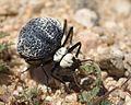 Cysteodemus armatus - Inflated Beetle Mojave desert 2016-04-05 (4).jpg