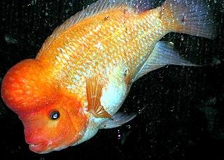 <i>Amphilophus</i> Genus of fishes
