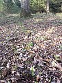 Dactylorhiza sambucina sl20.jpg
