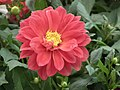 Dahlia from Lalbagh Flower Show August 2012 4622.JPG
