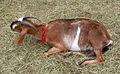Dairy goat (121695398).jpg