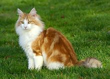 Norwegian Forest Cat For Sale Manchester