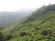 Tea Garden on way to Rock Garden, Darjeeling