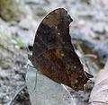 Dark Evening Brown. Melanitis phedima - Flickr - gailhampshire.jpg