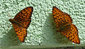 Dark Green Fritillary (15977380759).jpg