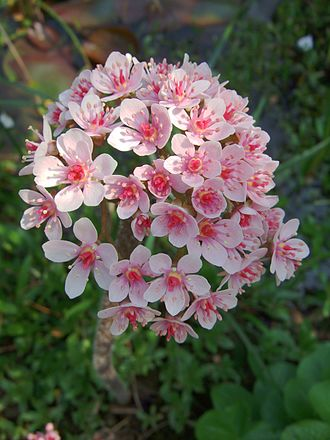 Darmera - Darmera peltata flowers