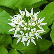 Daslook (Allium ursinum) 26-04-2020. (actm.) 01.jpg