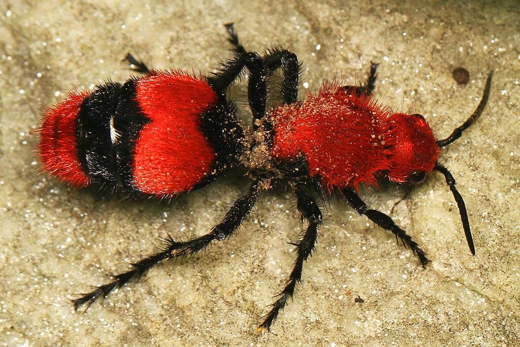 Dasymutilla occidentalis (female).jpg