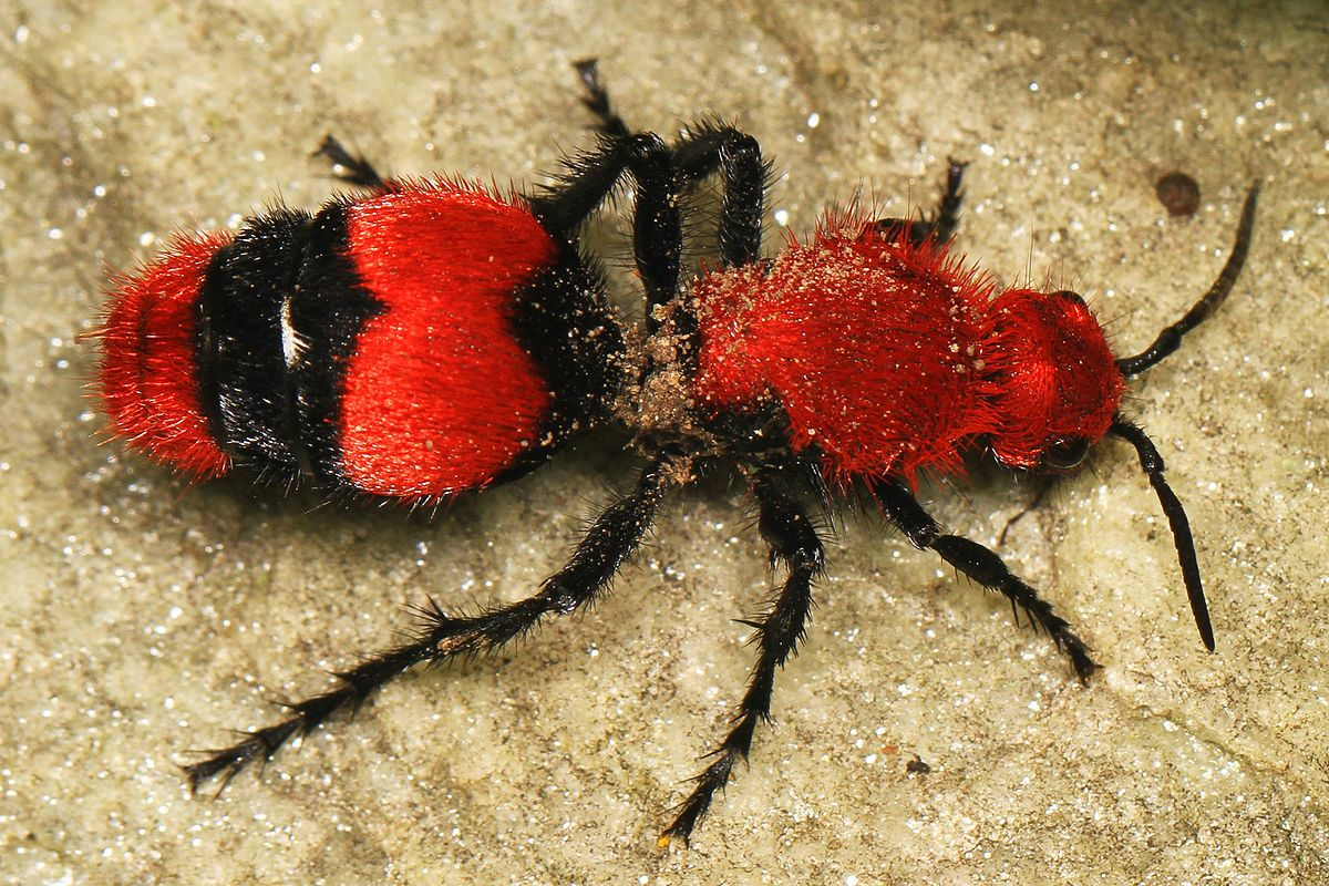 Regret, but large red hairy ants