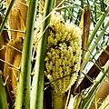 Date Palm flowers in Pakistan.jpg