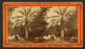 Date tree, in Dr. Peck's garden, from Robert N. Dennis collection of stereoscopic views 2.png