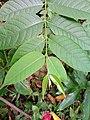 Daun Mentaos - Bintaos (Wrightia pubescens).jpg