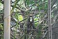 De Brazzo's monkey 01808.JPG