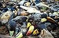 Dead birds organisms Abomey.jpg