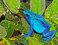 Dendrobates azureus (Dendrobates tinctorius).jpg