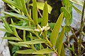 Dendrobium guamense.jpg