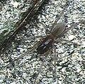 Desis.japonica.female.-.tanikawa.jpg