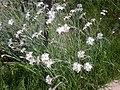 Dianthus anatolicus 1a.jpg