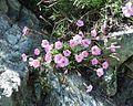Dianthus caryophyllus 07 07 2002 1.JPG
