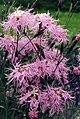 Dianthus superbus 1.jpg