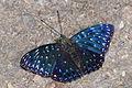 Dichorragia nesimachus formosanus back 20140621.jpg