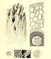 Die fossile Flora der Permischen Formation (1864) (20293656744).jpg