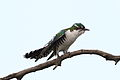 Diederik cuckoo, Chrysococcyx caprius (male), at Rietvlei Nature Reserve, Gauteng, South Africa (23634225905).jpg