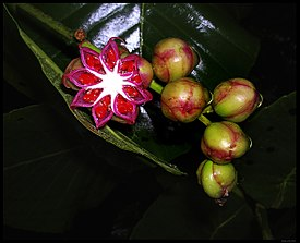 Dillenia suffruticosa fruit.jpg