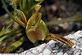 Dionaea muscipula 18zz.jpg